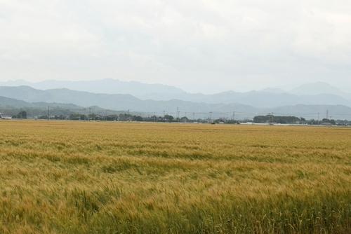 270514 麦畑10