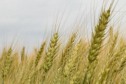 270514 麦畑9