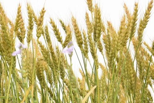 270514 麦畑8