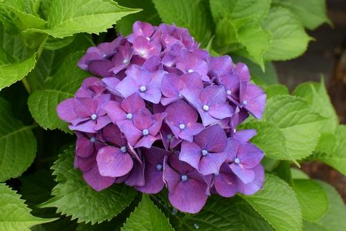 270601 紫陽花6