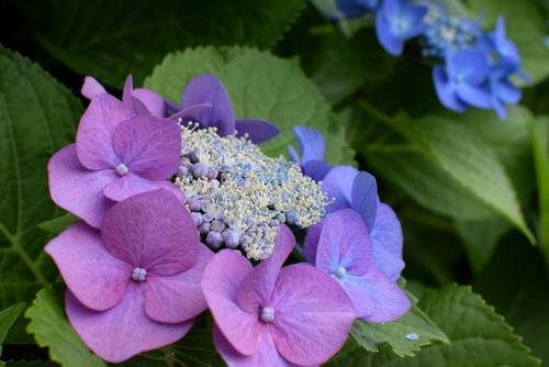 270601 紫陽花9