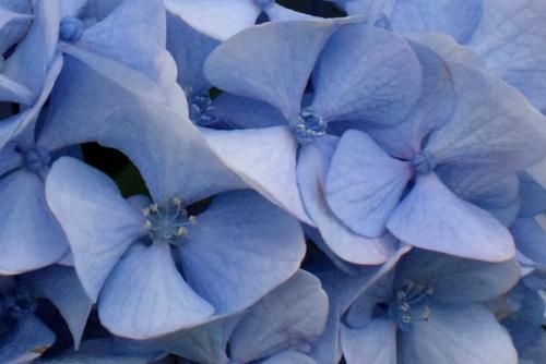 270601 紫陽花12