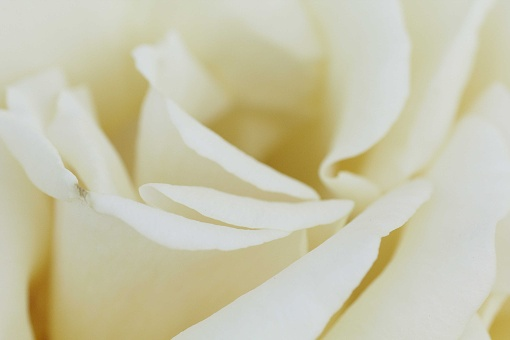 rose1505-26a.jpg