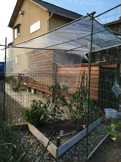 トマト栽培屋根01