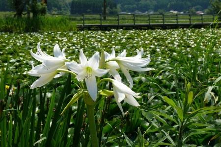 ・・名前の分からない白い花