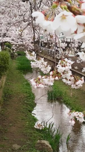 呑川緑道桜①2015.3.29
