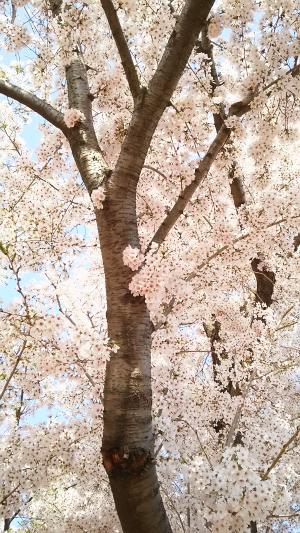 香代さん宅近くの野川の桜②2015.4.02