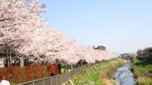 香代さん宅近くの野川の桜①2015.4.02