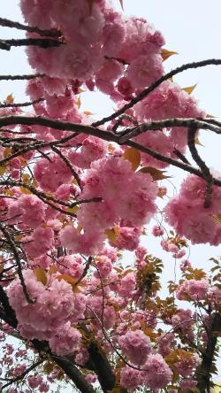 桜新町桜①2015.4.12