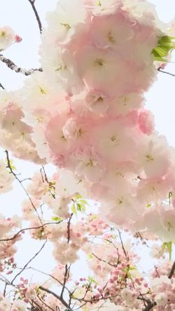 桜新町桜②2015.4.12