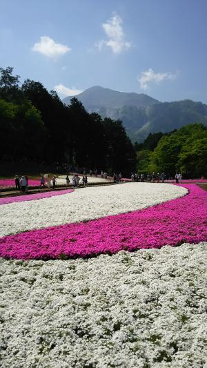 羊山公園の芝桜②2015.5.03