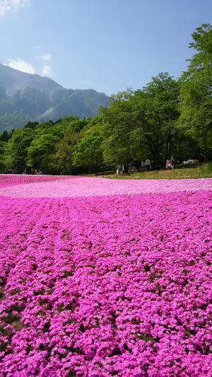 羊山公園の芝桜①2015.5.03