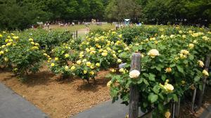 砧公園薔薇2015.5.06