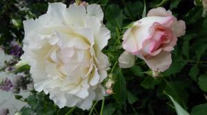 薔薇とガーデニングショウ⑦2015.5.13