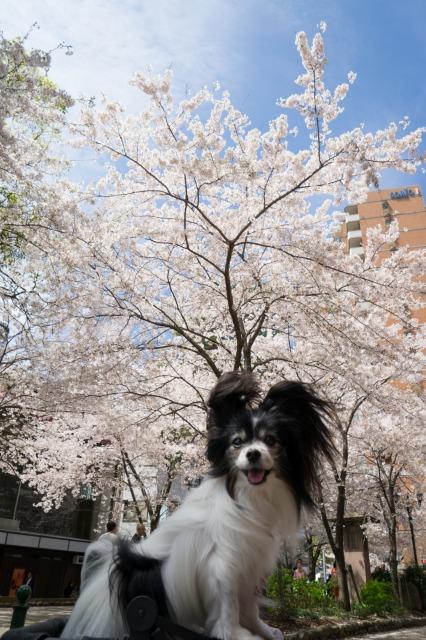 タカラジェンヌ気分でお花見♪ ~宝塚・花のみち~-005