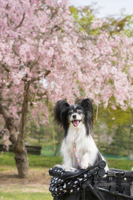 「兵庫県立フラワーセンターで会いましょう」企画【しだれ桜とコラボ♪】-004