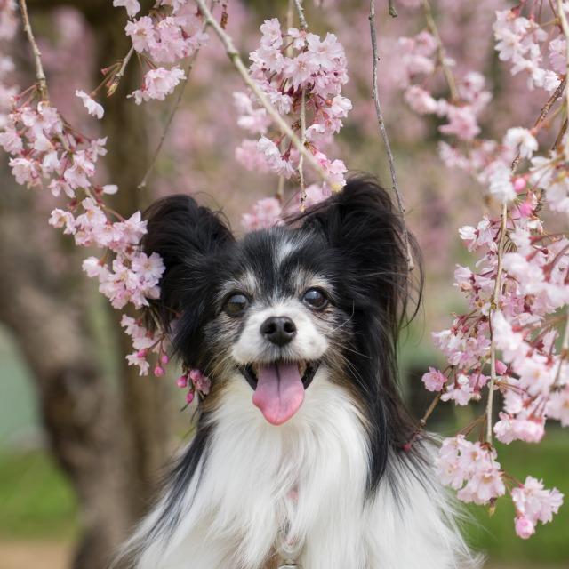 「兵庫県立フラワーセンターで会いましょう」企画【しだれ桜とコラボ♪】-005