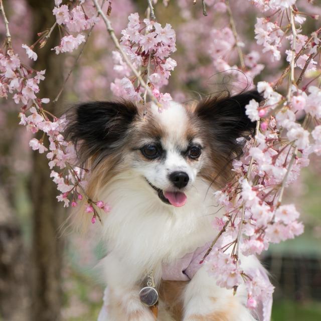「兵庫県立フラワーセンターで会いましょう」企画【しだれ桜とコラボ♪】-007