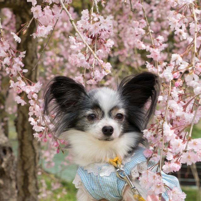 「兵庫県立フラワーセンターで会いましょう」企画【しだれ桜とコラボ♪】-008