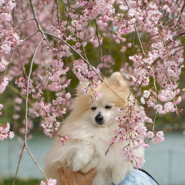 「兵庫県立フラワーセンターで会いましょう」企画【しだれ桜とコラボ♪】-010