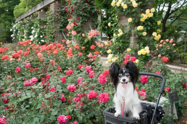 薔薇とマリィとオッサンと♪-007