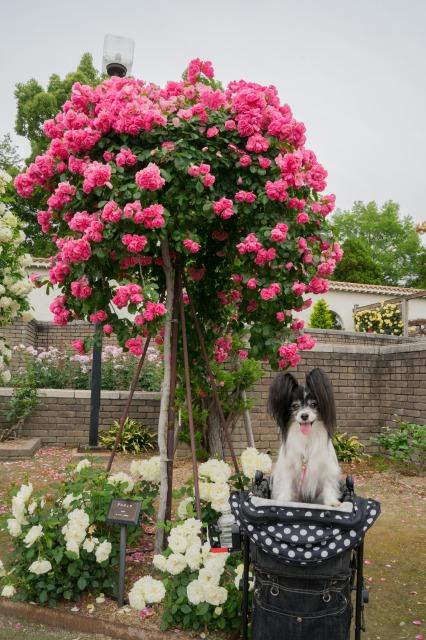 薔薇とマリィとオッサンと♪-009