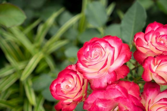 薔薇とマリィとオッサンと♪-016
