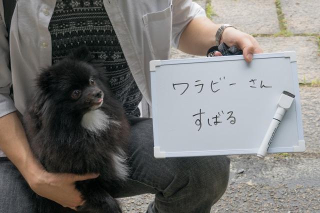 「熊猫犬日記」が大阪にやってきた!【阪神色に染まる真熊くん】-003