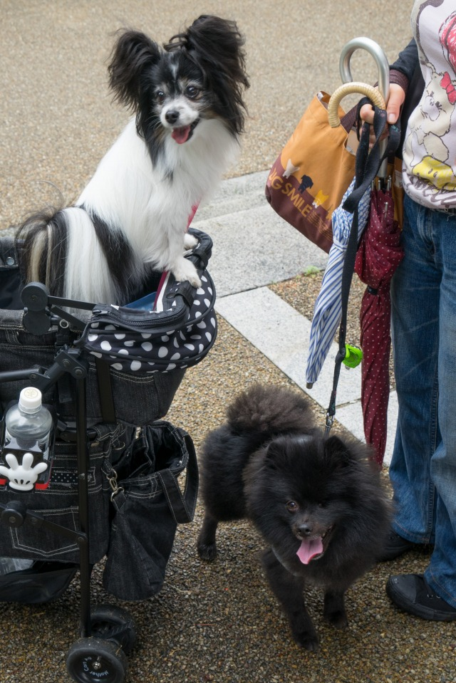 「熊猫犬日記」が大阪にやってきた!【阪神色に染まる真熊くん】-006