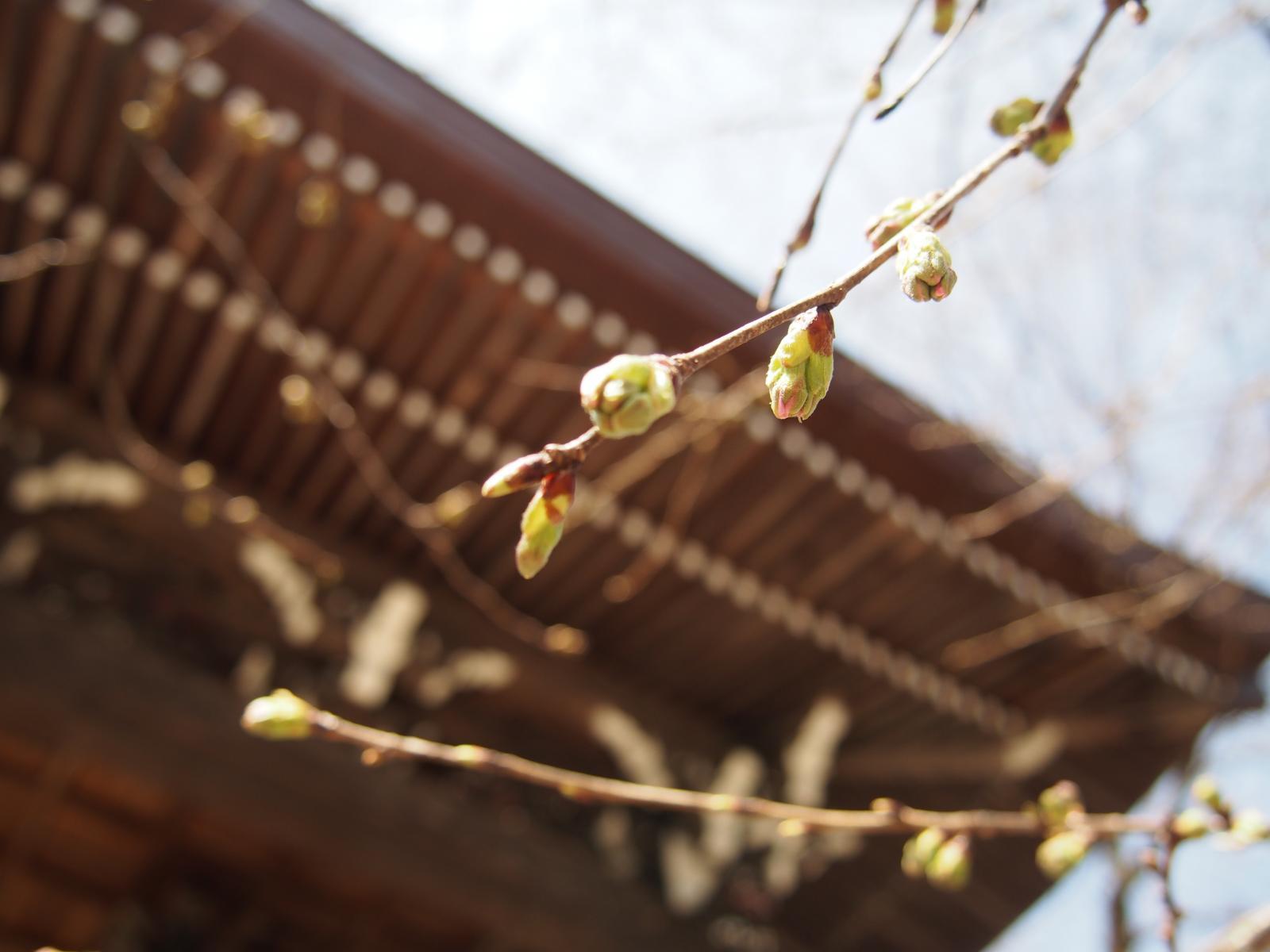 つぼみの春