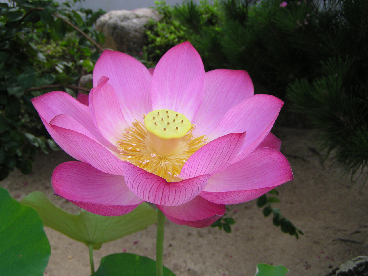 2-4 蓮の花写真ー1