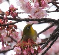 あたみ桜咲く糸川遊歩道(熱海市)
