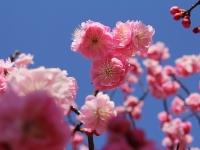 春うらら 兼六園の春散歩