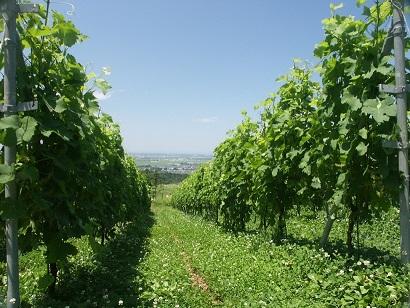 胎内ワイン畑