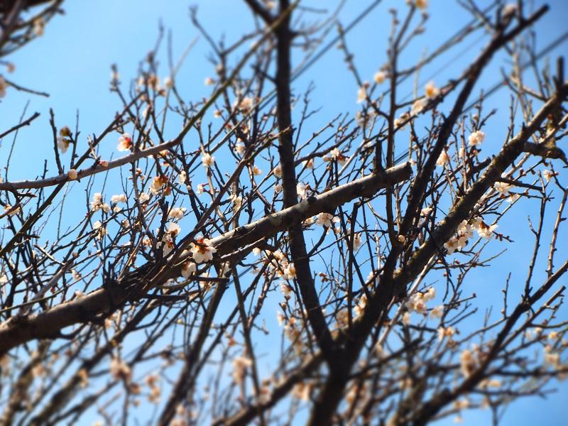桜 一分咲 2