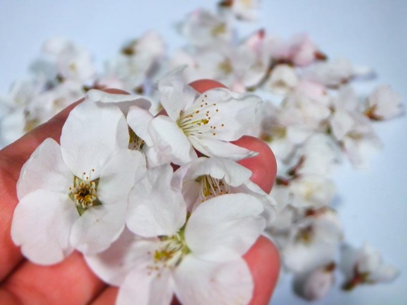 桜 みゆ お土産 2