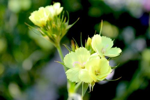 ダイアンサス ナッピー Dianthus knappii ホタルナデシコ 黄色のナデシコ  生産 販売 松原園芸 直売