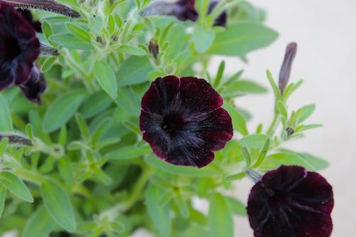 Petunia アンティークミニペチュニア ブラックペチュニアヴァルゴ  育種 生産 販売 松原園芸