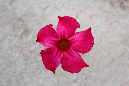 マンデビラ Mandevilla ディプラデニア (Dipladenia) 生産 育種 販売 松原園芸 オリジナル品種