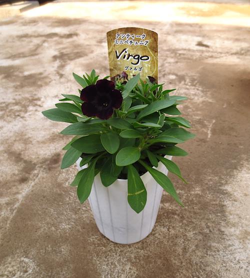 ペチュニア ヴァルゴ  育種 生産 販売 松原園芸