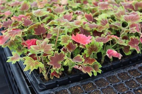 モミジバゼラニウム(学名Pelargonium × hortorum) 挿し芽  生産 販売 松原園芸
