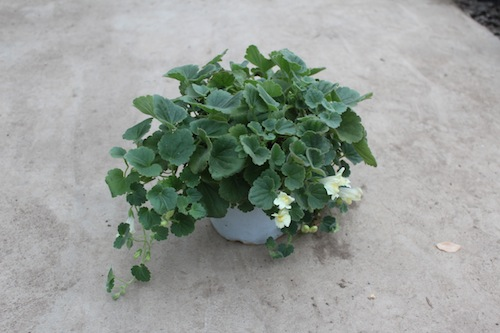 アサリナ プロクンベンス Asarina procumbens  生産 販売 松原園芸
