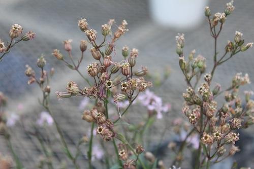 リクニス フロスククリ(ナデシコ科Lychnis flos-cuculi) 生産 育種 販売 松原園芸