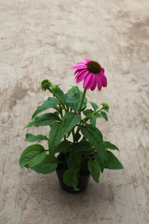 エキナセア(キク科Echinacea purpurea) パウワウ 生産 販売 松原園芸