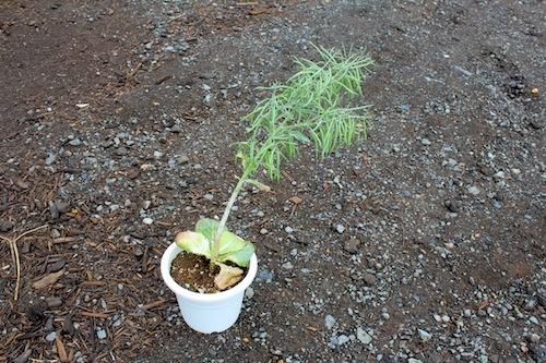 ハボタン タネ 種子 結実 育種 生産 販売 松原園芸