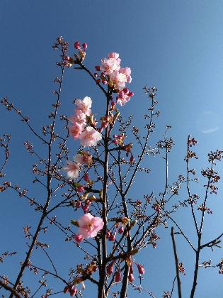 150219河津桜
