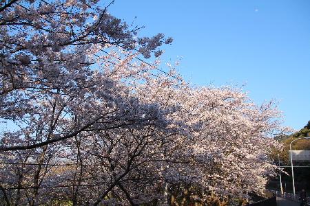 150330桜