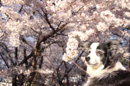150330桜1