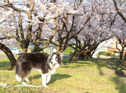 150330桜8