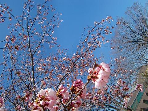 桜は少し~ 15.4.1